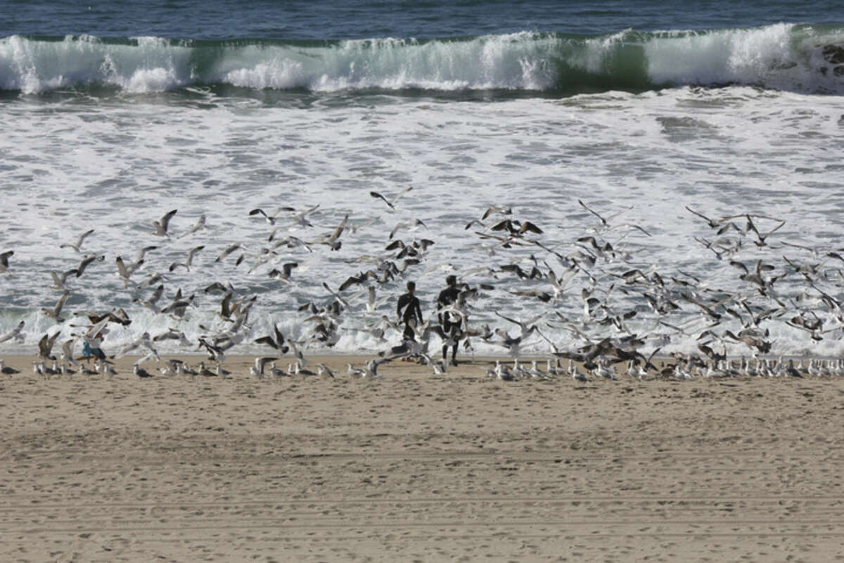 Surfboarders surrounded by a flock of seagulls, head for the waves on Presidents Day holiday at Redondo Beach, Calif., on Monday, Feb. 15, 2016, as Southern California baked in summer-like heat. (AP Photo/John Antczak)