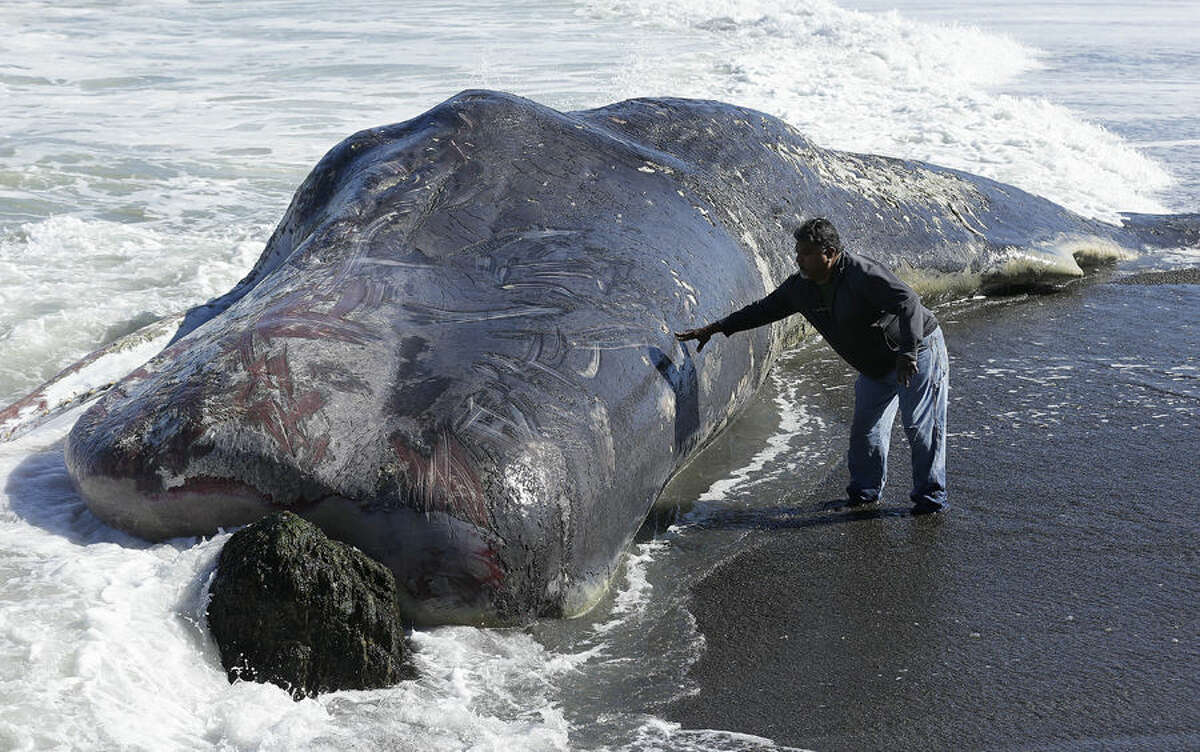 Tony Moreno touches the body of a whale on the beach in Pacifica, Calif., Wednesday, April 15, 2015. The carcass of the 50-foot sperm whale washed ashore at the Pacifica beach just south of San Francisco. Officials from the Marine Mammal Center in Sausalito say it's not immediately clear how the animal died or what would be done with it. A necropsy is planned for Wednesday. (AP Photo/Jeff Chiu)