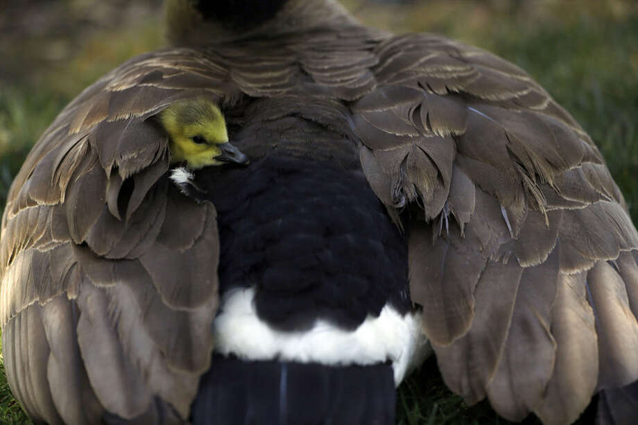 A gosling peers out from its mother's wings Wednesday, April 15, 2015, in Santa Clara, Calif. (AP Photo/Marcio Jose Sanchez)