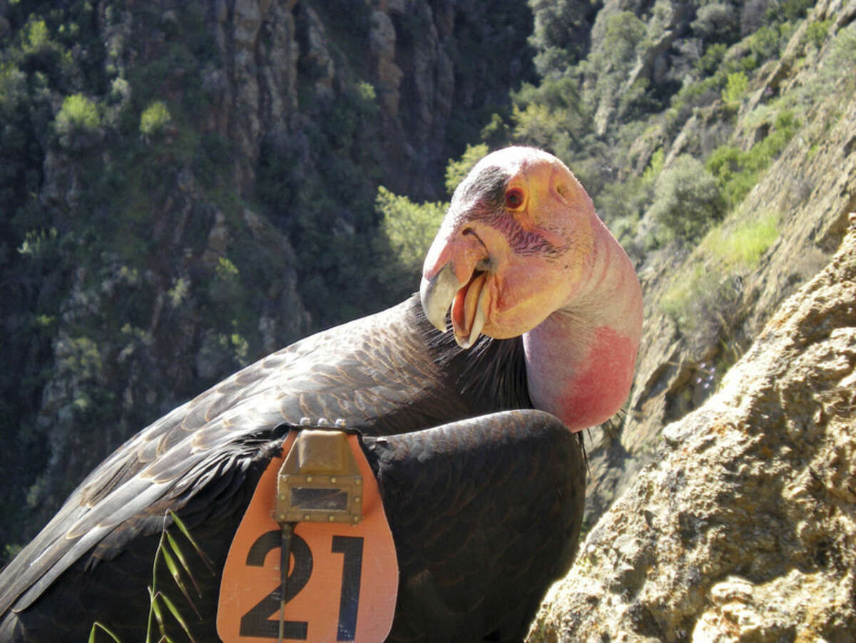 This undated photo from the U.S. Fish and Wildlife Service shows Condor No. 21 wearing a GPS transmitter while perched near his nest in the Hopper Mountain National Wildlife Refuge near Fillmore, Calif. Solar-powered trackers on wings recording California condors soaring to 15,000 feet, locators attached to humpback whales that reveal 1,000-foot dives to underwater mountains, and GPS collars on Yellowstone ecosystem grizzly bears give new insights into one of the most studied large carnivore populations in the world.(Joseph Brandt/U.S. Fish and Wildlife Service via AP)