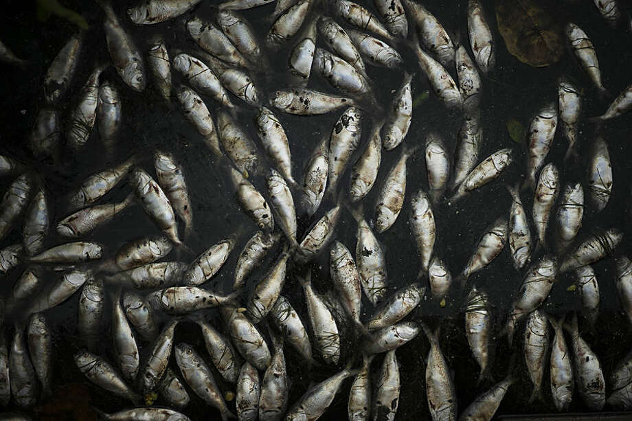 Small silvery fish called twaite shad float in the Rodrigo de Freitas lagoon in Rio de Janeiro, Brazil, Thursday, April 16, 2015. Fish continued to die by the ton Thursday in the Rio de Janeiro lagoon that's slated to host Olympic rowing events, while city authorities and biologists argued about the cause of the die-off. (AP Photo/Felipe Dana)