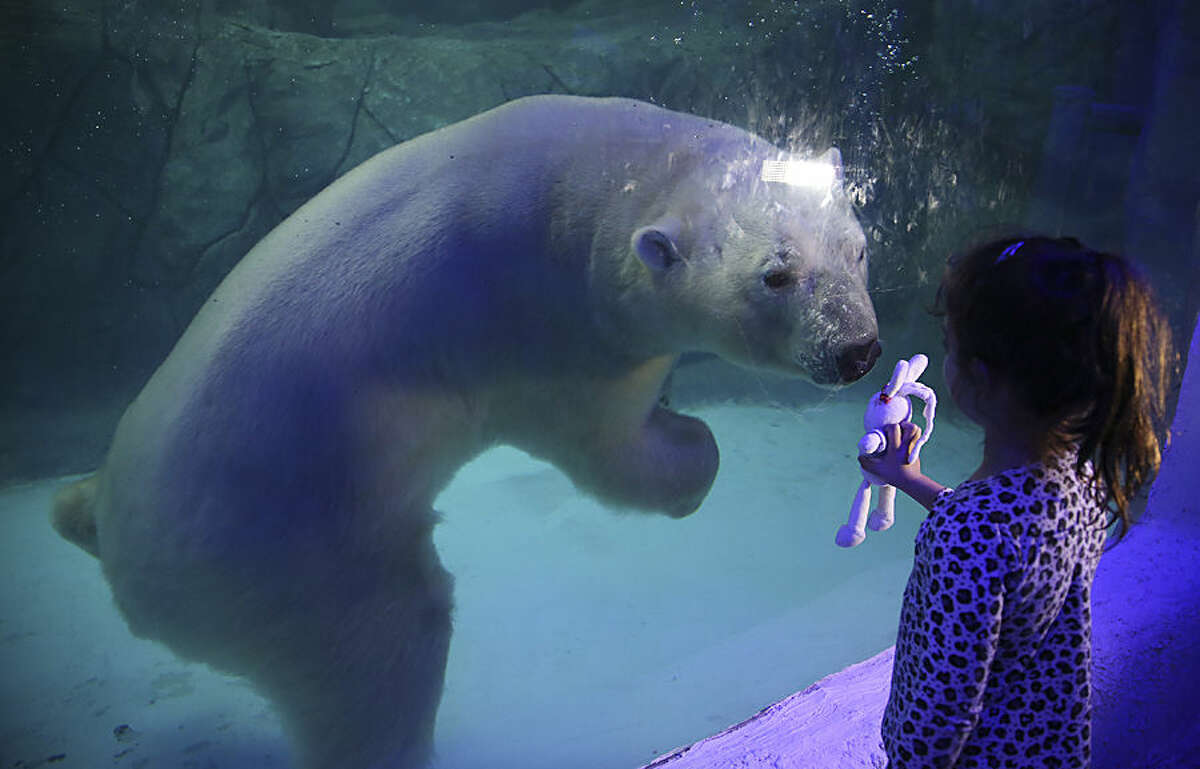 A visitor holds up her toy bunny to the aquarium glass in front of Aurora the Russian polar bear at the Sao Paulo Aquarium in Sao Paulo, Brazil, Thursday, April 16, 2015. Two Russian polar bears, Aurora and Peregrino, were moved from the Kazan Zoo and arrived in the South American country in December. After four months of adaptation the two bears made their public debut Thursday. (AP Photo/Andre Penner)