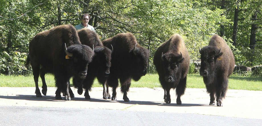 An unidentified volunteer helps move five buffalo on Whispering Hills Road in Hot Springs, Ark., Thursday, April, 16, 2015. Hot Springs police say six buffaloes escaped from a nearby farm Thursday and spent the day roaming neighborhoods and avoiding sheriff's deputies, officers and volunteers. One animal was hit by a car and returned to the farm. Three were tranquilized Thursday evening. The whereabouts of the other two are unknown. (Richard Rasmussen/The Sentinel-Record via AP)