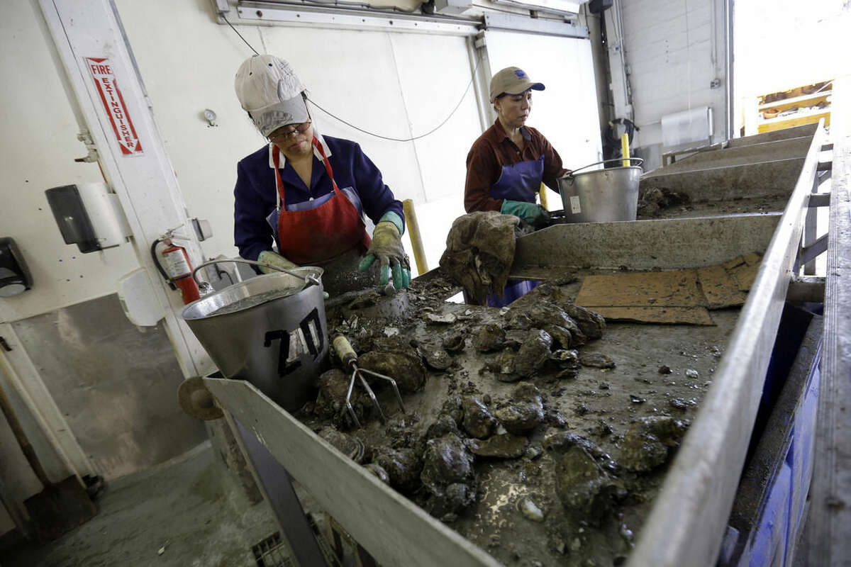 ADVANCE FOR USE SATURDAY, APRIL 18, 2014 AND THEREAFTER - FILE - In this Tuesday, June 24, 2014 photo, a worker shucks the last of a small amount of oysters they received for the day at P & J Oyster Co., an oyster distributor, in New Orleans. Oyster harvests along the Gulf Coast declined dramatically after the 2010 BP oil spill. (AP Photo/Gerald Herbert)