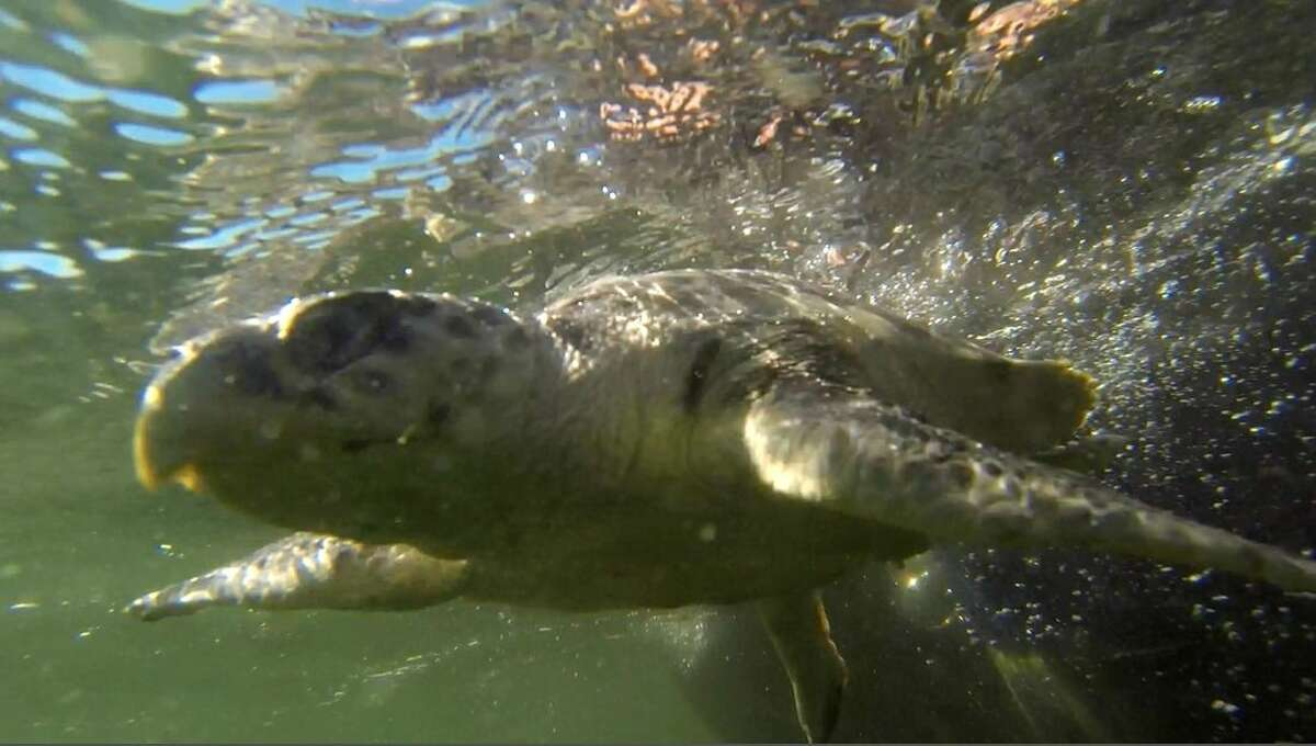 """ADVANCE FOR USE SATURDAY, APRIL 18, 2014 AND THEREAFTER - FILE - In this Jan. 29, 2015 image made from video, an endangered Kemp's Ridley sea turtle swims as it is released into the Gulf of Mexico, 24 miles off the coast of Louisiana, after being rehabilitated by the Audubon Institute. After the spill, the number of the turtles' nests dropped 40 percent in one year in 2010. """"We had never seen a drop that dramatic in one year before,"""" according to Selina Saville Heppell, a professor at Oregon State University. The population climbed in 2011 and 2012 but then fell again in 2013 and 2014, down to levels that haven't been that low in nearly a decade, she said. (AP Photo/Gerald Herbert, File)"""