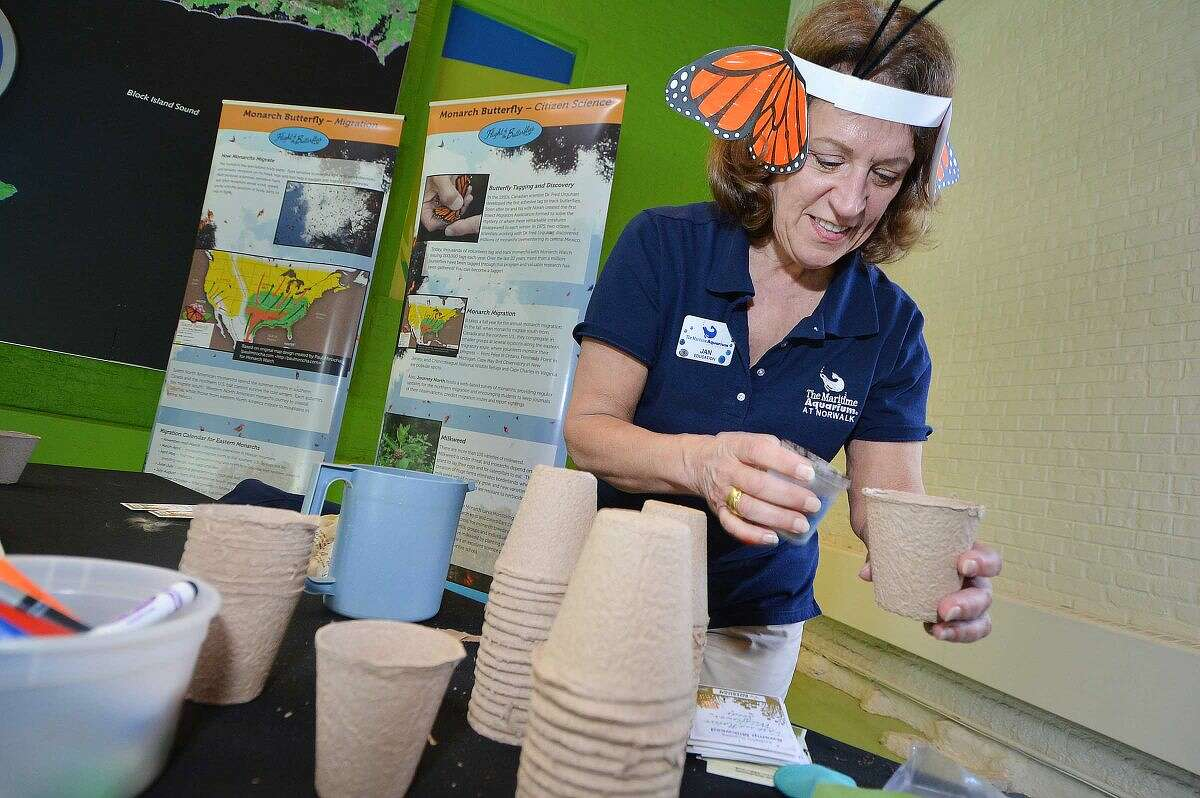 Hour Photo/Alex von Kleydorff Educator Jan Nelmes makes a 'starter cup' of a milkweed plant for vsistors to take home and plant at The Maritime aquarium on Wednesday. The plant is a vital part of the life of a Monarch butterfly, and help it defend against predators.