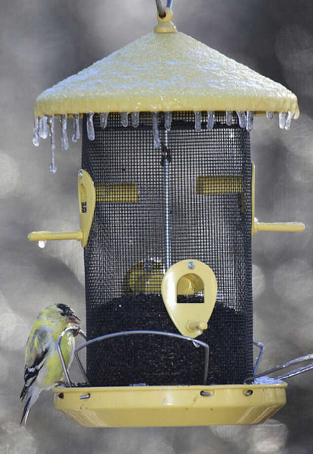 Photo by Chris BosakAn American Goldfinch eats Nyjer seeds from a frozen feeder during a frosty April morning in Danbury.