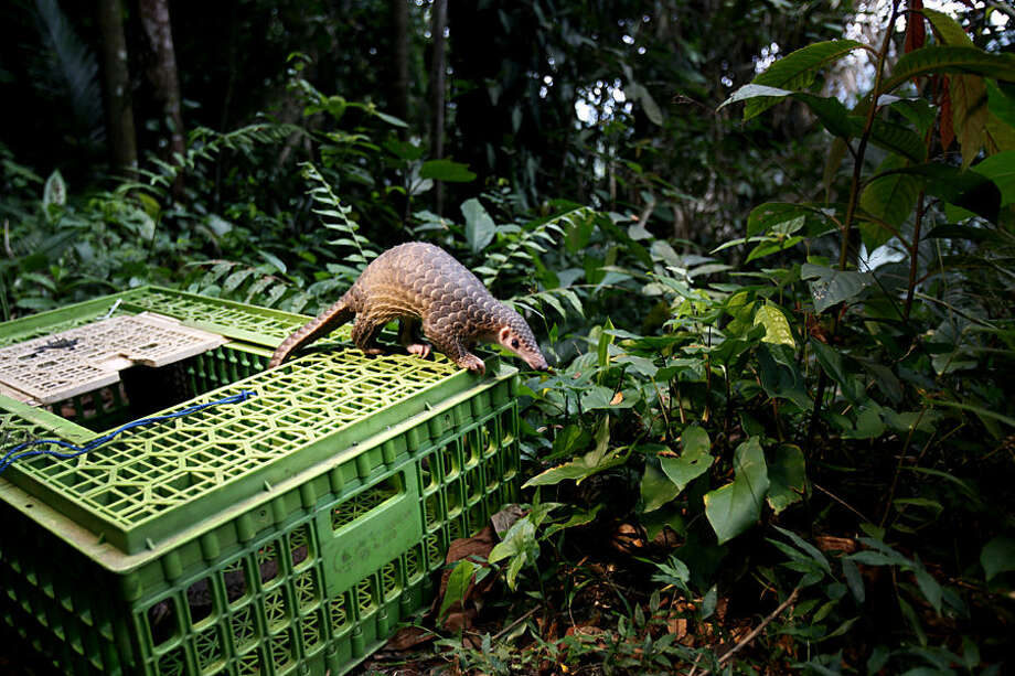 A pangolin climbs out of a cage upon its release into the wild in Sibolangit, North Sumatra, Indonesia, Monday, April 27, 2015. The anteater is part of dozens of live pangolins and around five tons (11,000 lbs) of pangolin meat ready to be shipped abroad confiscated in a police a raid last week. (AP Photo/Binsar Bakkara)