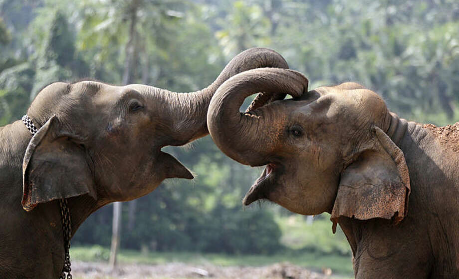 Two elephant calves play at an elephant orphanage in Pinnawala, about 45 kilometers (28 miles) northeast of Colombo, Sri Lanka, Wednesday, April 16, 2014. The orphanage is home to 83 elephants and a major tourist attraction in Sri Lanka. (AP Photo/Eranga Jayawardena)
