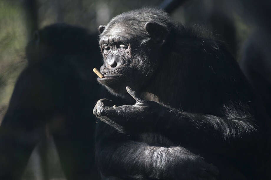 The spring sun lights the face of a chimpanzee eating in his outdoor quarters at Artis Royal Zoo in Amsterdam, Netherlands, Wednesday, April 16, 2014. (AP Photo/Peter Dejong)