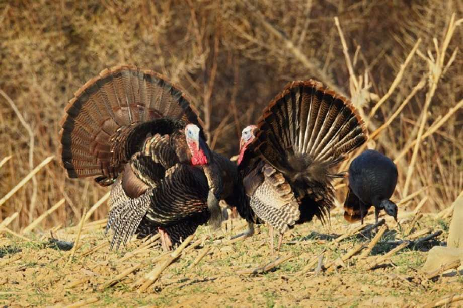 The 2016 Connecticut spring wild turkey hunting season opens on April 27 and runs through May 28. This year will mark the 36th consecutive year that sportsmen have hunted turkeys in Connecticut. Healthy and numerous wild turkey populations exist throughout the majority of Connecticut's woodlands. (Photo:Paul J. Fusco/DEEP Wildlife Division)