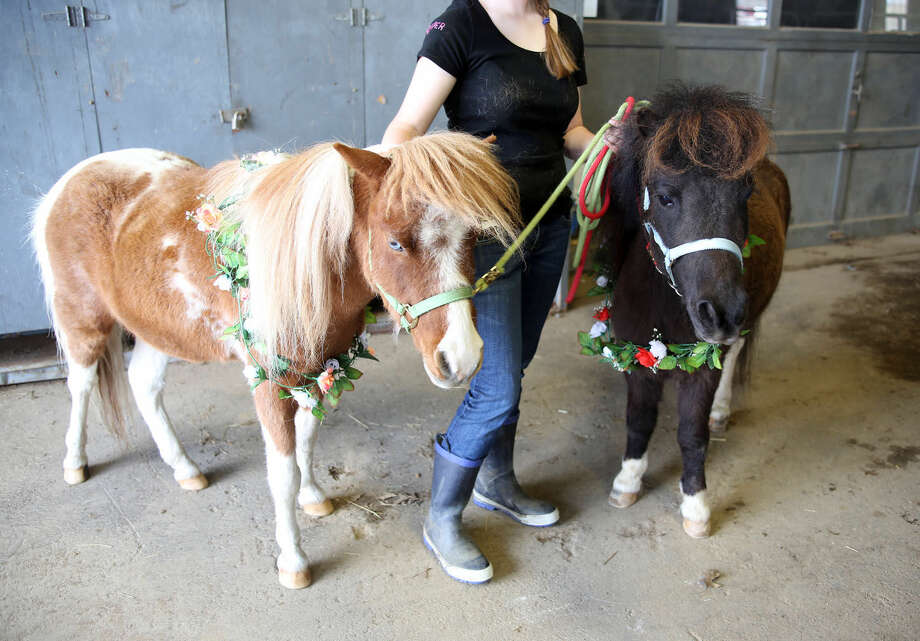 Minature ponies greet guests during the 3rd annual Pony Rides For A Purpose event to benefit the Jessica Rekos Foundation at the The 2nd Company Governor's Horse Guard in Newtown, CT Sunday afternoon. Hour Photo / Danielle Calloway