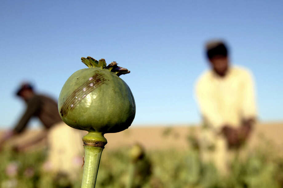 In this Saturday, April 11, 2015 photo, Afghan farmers harvest raw opium at a poppy field in Kandahar's Zhari district, Afghanistan. This year, many Afghan poppy farmers are expecting a windfall as they get ready to harvest opium from a new variety of poppy seeds said to boost yield of the resin that produces heroin. The plants grow bigger, faster, use less water than seeds they've used before, and give up to double the amount of opium, they say. (AP Photo/Allauddin Khan)