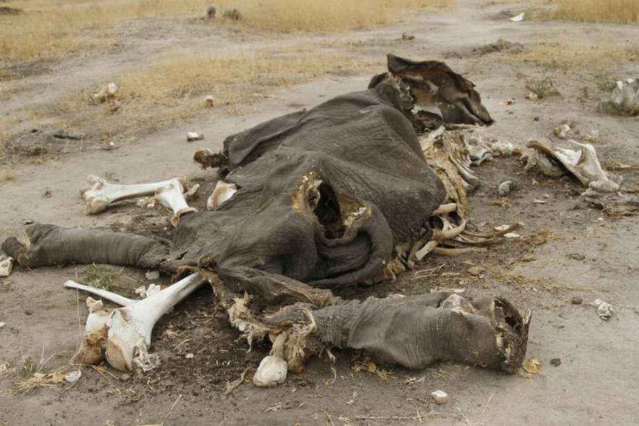 FILE This Sept. 29, 2013 file photo shows rotting elephant carcasses in Hwange National Park, Zimbabwe, wildlife officials said animals were poisoned with cyanide by poachers who hack off the tusks for the lucrative illegal ivory market. Political and military elites are seizing protected areas in one of Africa's last bastions for elephants, putting broad swaths of Zimbabwe at risk of becoming fronts for ivory poaching, according to a nonprofit research group's report that examines government collusion in wildlife trafficking. (AP Photo, File)