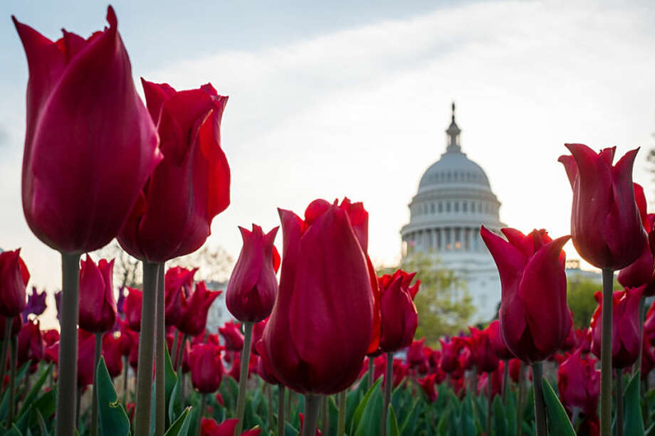 Tulips bloom in front of the Capitol in Washington, Tuesday, April 22, 2014. The annual burst of color around the Nation's Capital is a sure sign that spring has finally arrived. (AP Photo/J. David Ake)