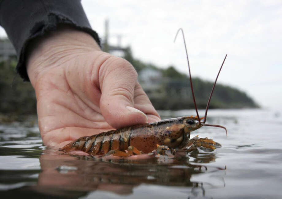 FILE - In this June 2007, file photo, a scientist releases a juvenile lobster while doing research on Orr's Island in Harpswell, Maine. A University of Maine survey of 11 locations in the Gulf of Maine indicates the number of young lobsters has declined by more than half from their 2007 levels, a significant statistic, since lobsters typically take about eight years to reach the legal harvesting size. (AP Photo/Robert F. Bukaty, File)