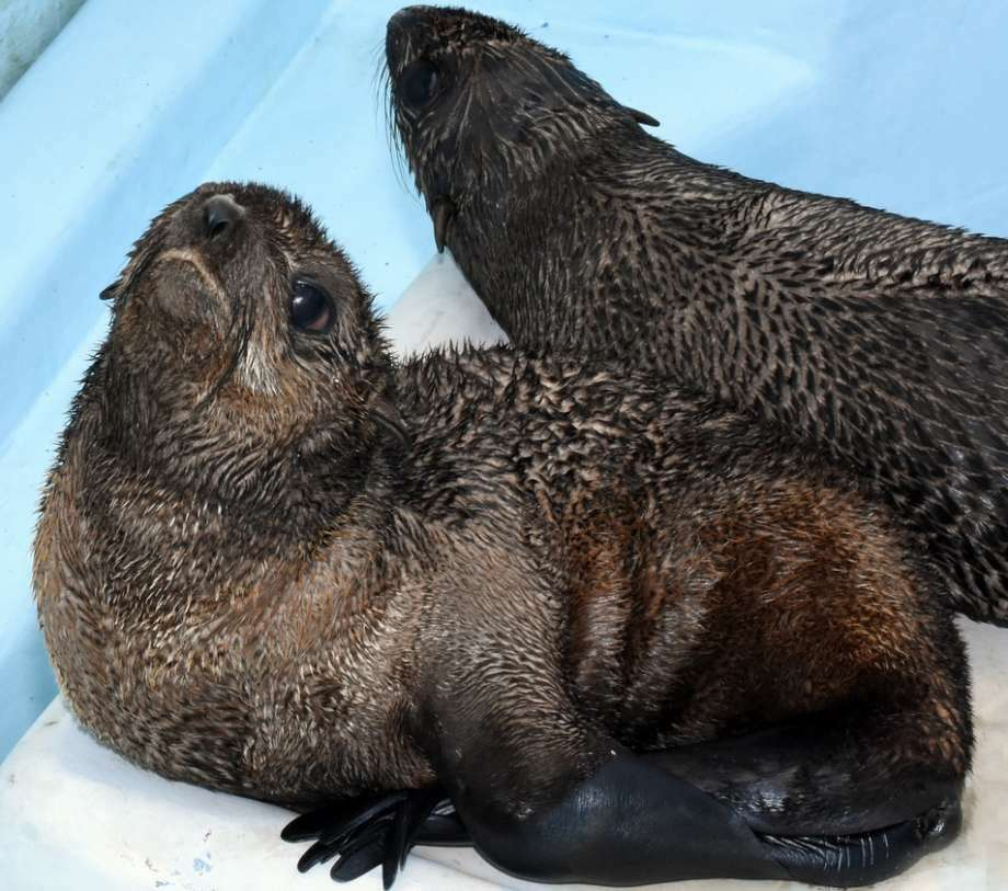 Two Northern fur seal pups have been relocated from the southern California coast to the Mystic Aquarium near the shore of Long Island Sound. The seal pups, named Pup XCu31 and Pup XCu32, had some kind of difficulties eating in the Pacific Ocean. If the two seals were released into the Pacific Ocean, it's likely they wouldn't survive. (Photo: Contributed)