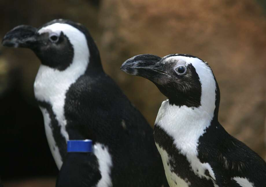 Check out the newest additions to Bridgeport's Beardsley Zoo. Four African Penguins have made the zoo their new summer home.