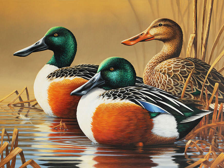Wildlife artist Guy Crittenden's depiction of three northern shovelers was the winner of the Department of Energy and Environmental Protection's (DEEP) 2014-2015 Connecticut Migratory Bird Conservation (Duck) Stamp Art Contest.