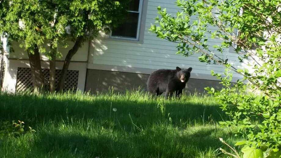 This black bear was captured in Shelton on Thursday, May 14, 2015.(Photo: Shelton Trails & Conservation)