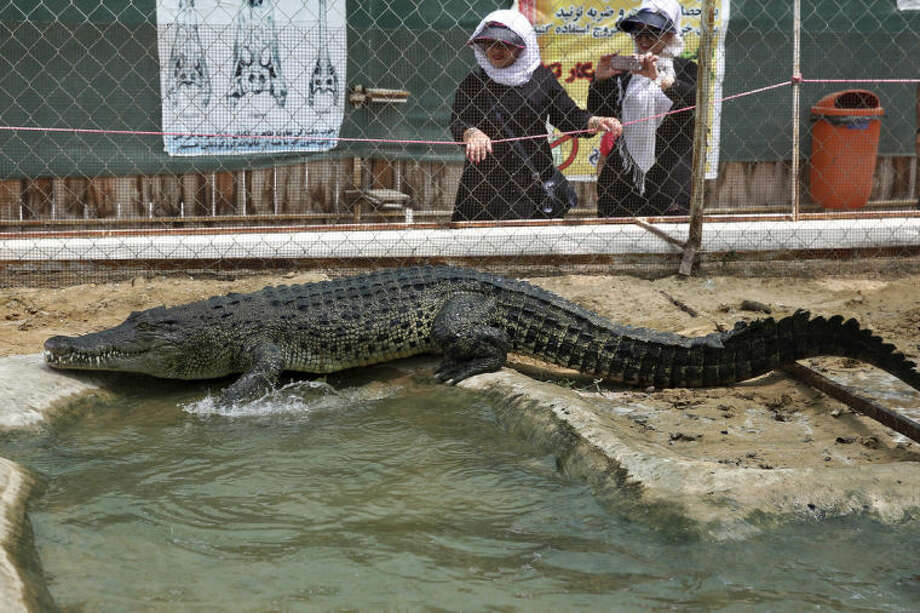 In this photo Tuesday, April 22, 2014 photo, a tourist take a photograph of a crocodile at a breeding farm on the southern Persian Gulf island, Qeshm in Iran. Breeding crocodiles was outlawed in Iran until 2006, when top clerics approved the practice after veterinary experts offered up economic and technical justifications. (AP Photo/Ebrahim Noroozi)