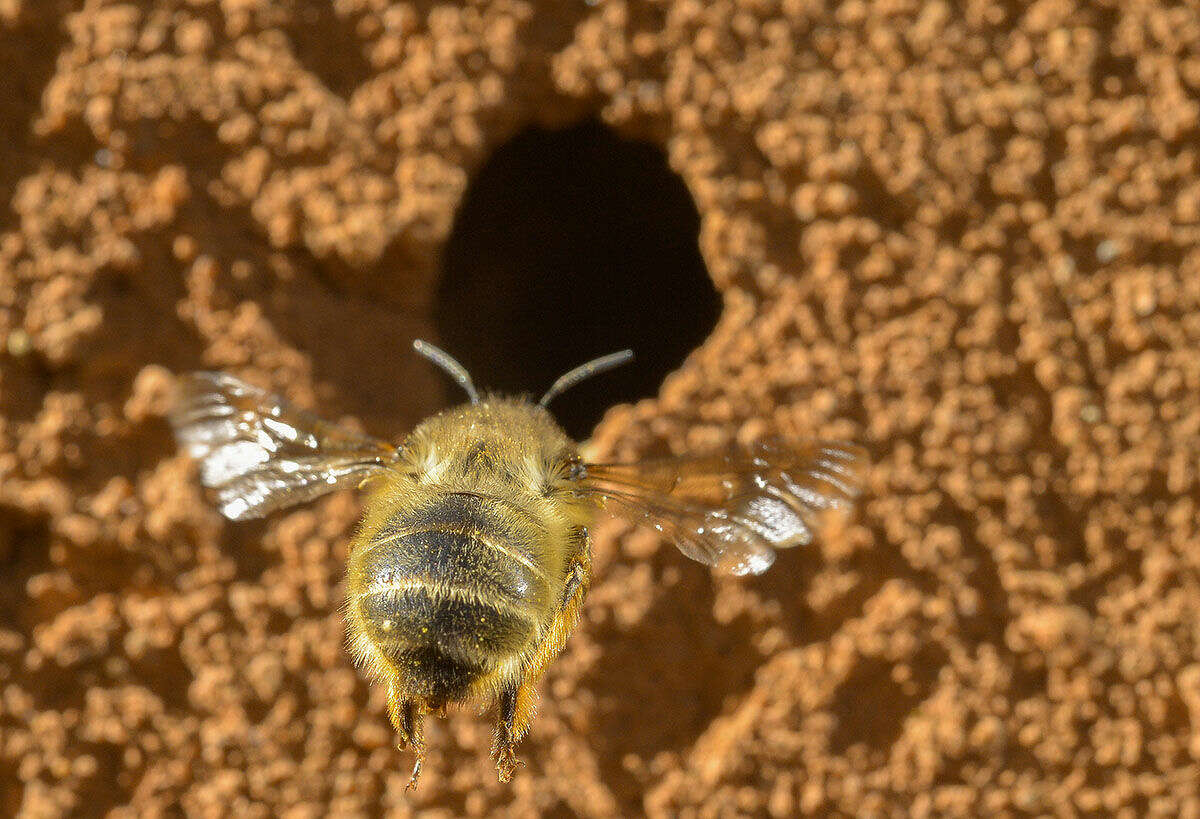 Photo for The Washington Post by Doug Kapustin An Anthopora plumipes (Hairy-Footed Flower Bee) prepares to burrow in the soft clay at the Upper Marlboro, Md., home of Sam Droege, a U.S. Geological Survey wildlife biologist, on May 14, 2015. President Obama's interest in bees has reverberated across the federal government and will shape U.S. policy for years to come.