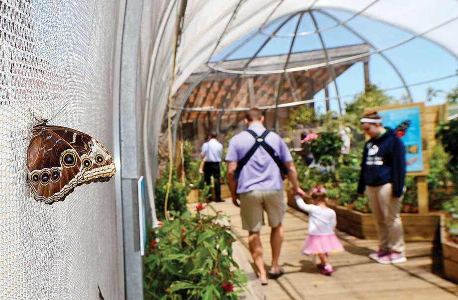 Hour photo / Erik Trautmann Visitors to the Maritime Aquarium Saturday enjoy the abundance of butterflies on the opening day of the aquarium's new exhibit, Flutter Zone.