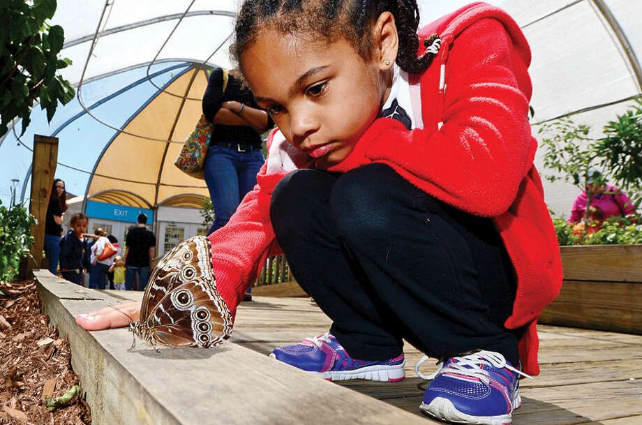 Hour photo / Erik Trautmann Visitors at the Maritime Aquarium Saturday including 7 year old Lila Malone enjoy the abundance of butterflies on the opening day of the aquarium's new exhibit, Flutter Zone.