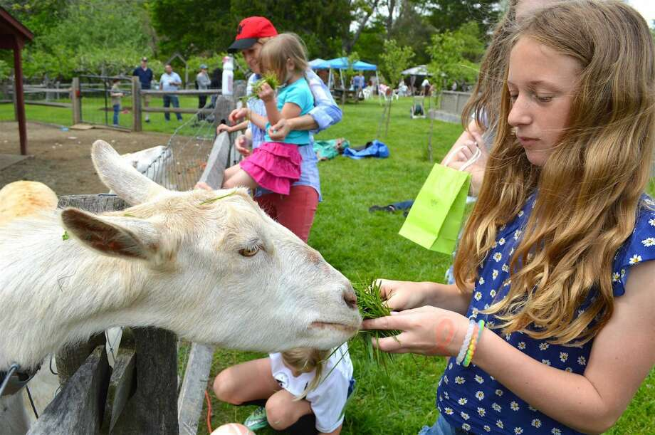 Alex Mara, 12, visiting from Red Bank, N.J., met one of the Wakeman Town Farm's goats on GreenDay.