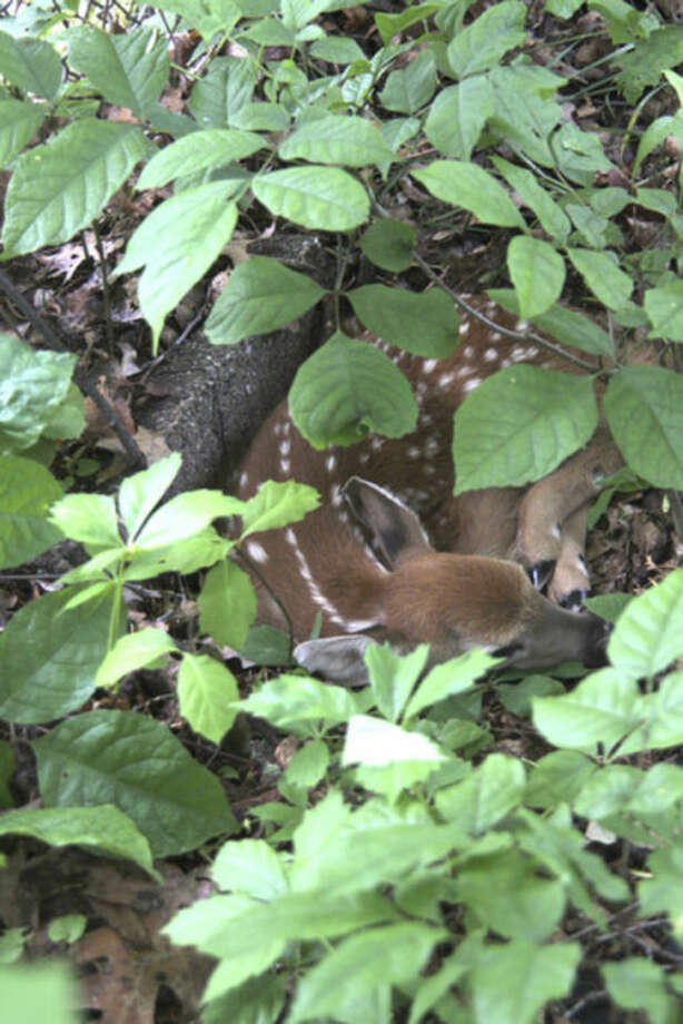 Photo by Chris BosakA fawn hides in the woods, June 2013.
