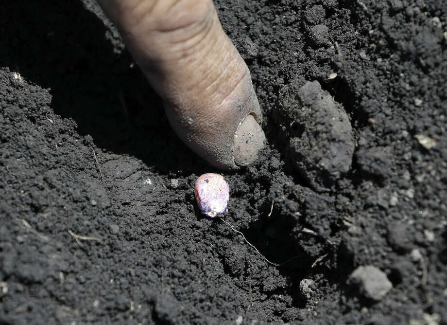 In this photo taken Monday, May 18, 2015, Gino Celli checks the moisture of the ground next to a newly planted corn seed on land he farms near Stockton, Calif. Celli who farms 1,500 acres of land and manages another 7,000 acres, has senior water rights and draws his irrigation water from the Sacramento-San Joaquin River Delta. Farmers in the Sacramento-San Joaquin River Delta who have California's oldest water rights are proposing to voluntarily cut their use by 25 percent to avoid the possibility of even harsher restrictions by the state later this summer as the record drought continues. (AP Photo/Rich Pedroncelli)