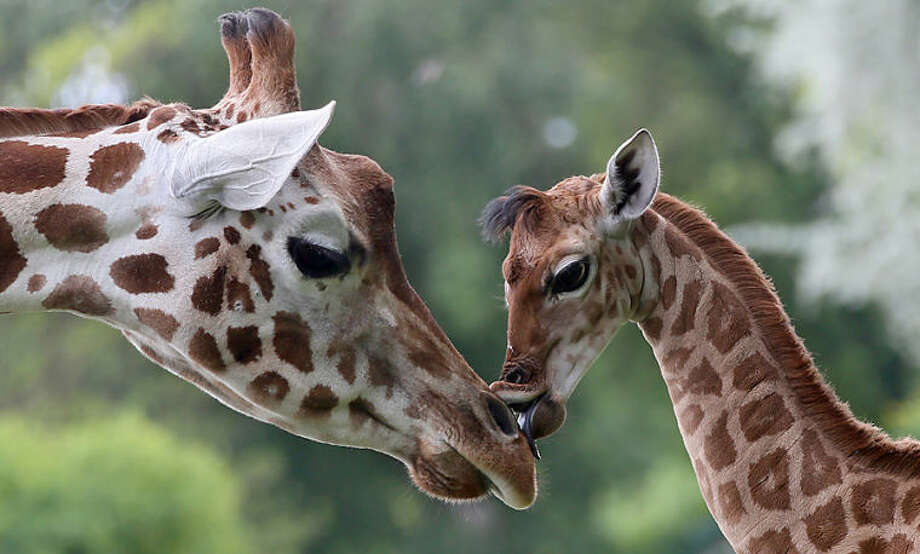 Nine-day-old giraffe Bine licks the nose of its giraffe aunt Andrea at Friedrichsfelde Zoo in Berlin,Germany, Friday, May 9, 2014. The baby giraffe was born on 30 April during opening hours and numerous visitors were able to watch the birth.(AP Photo/dpa, Stephanie Pilick)