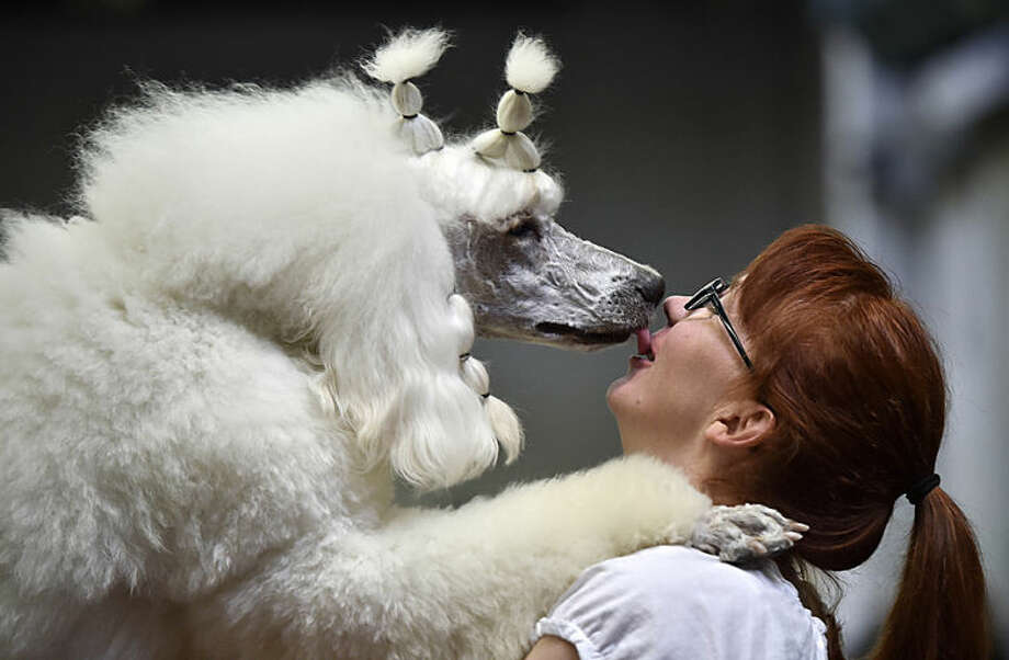 Poodle Farinelli gives back a kiss to its owner Anja Trinks before the contest at the dog show in Dortmund, Germany, Friday, May 9, 2014. (AP Photo/Martin Meissner)