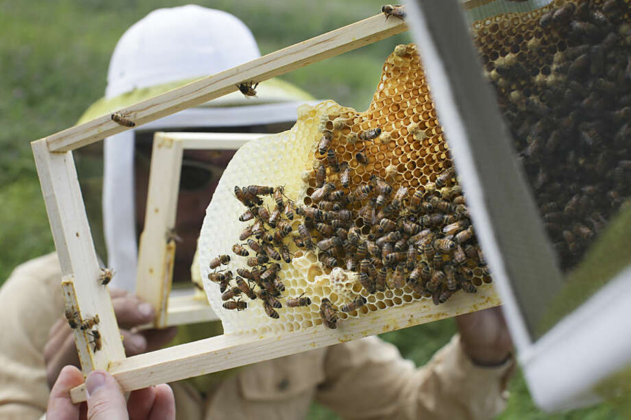 Volunteers check honey bee hives for queen activity and perform routine maintenance as part of a collaboration between the Cincinnati Zoo and TwoHoneys Bee Co., Wednesday, May 27, 2015, at EcOhio Farm in Mason, Ohio. A federal rule to be proposed Thursday, May 28, would create temporary pesticide-free zones when certain plants are in bloom around bees that are trucked from farm to farm by professional beekeepers, which are the majority of honeybees in the U.S. (AP Photo/John Minchillo)
