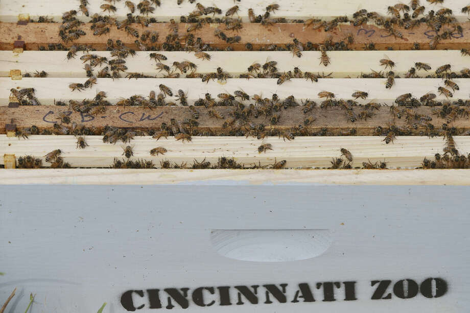 Honey bees congregate on top of frames as their hives are checked for queen activity and receive routine maintenance as part of a collaboration between the Cincinnati Zoo and TwoHoneys Bee Co., Wednesday, May 27, 2015, at EcOhio Farm in Mason, Ohio. A federal rule to be proposed Thursday, May 28, would create temporary pesticide-free zones when certain plants are in bloom around bees that are trucked from farm to farm by professional beekeepers, which are the majority of honeybees in the U.S. (AP Photo/John Minchillo)