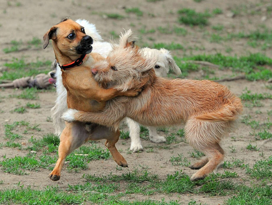 Playful dogs run around as their owners check out venders during the 3rd Annual Doggy Day Plaooza at the Stamford Dog Park on Saturday, May 21, 2016.
