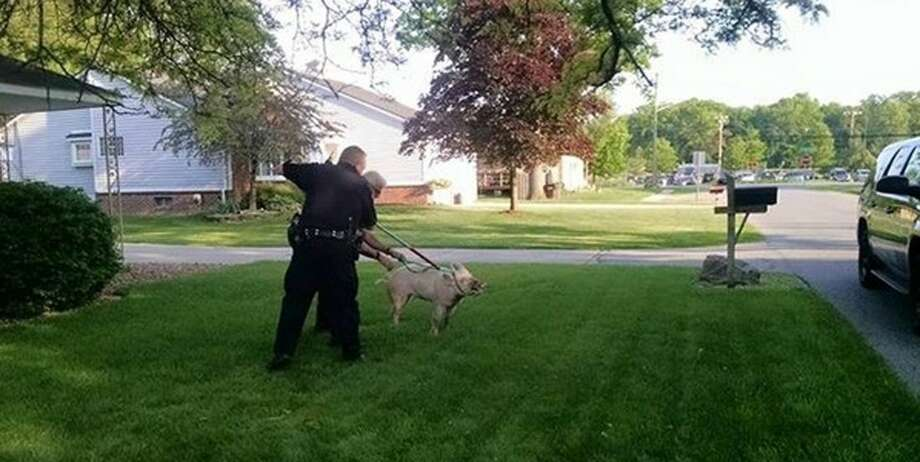 This May 28, 2015 photo provided by the Shelby Township Police Department shows officers picking up a stray pig in suburban Detroit. A homeowner said she was doing yard work when the pig came barreling toward her, chasing her into the front yard before apparently getting distracted by a decorative ball. Police showed up and got the pig off the streets, though it left a mess inside the police vehicle before it was reunited with its owner. (Shelby Township Police Deptartment via AP)
