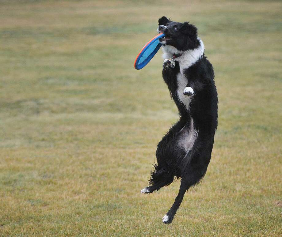Hour Photo/Alex von Kleydorff 9 month old English Shepherd Bella, who is getting some exercise and play time grabs the Frisbee thrown from owner Guy Poirier at Taylor Farm Park on Monday