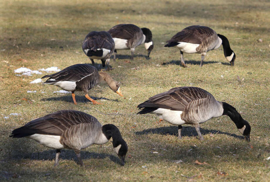Photo by Chris BosakA Greater White-fronted Goose is seen with a flock of Canada Geese at Cove Island Park in Stamford. Border Collies will be used to keep such geese of Calf Pasture Beach and Veterans Memorial Park in Norwalk.