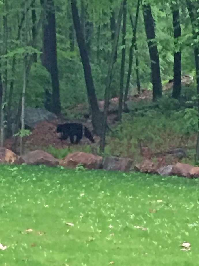 A black bear spotted in the Cranbury and West Rocks areas of Norwalk this week. (Photo: Contributed)