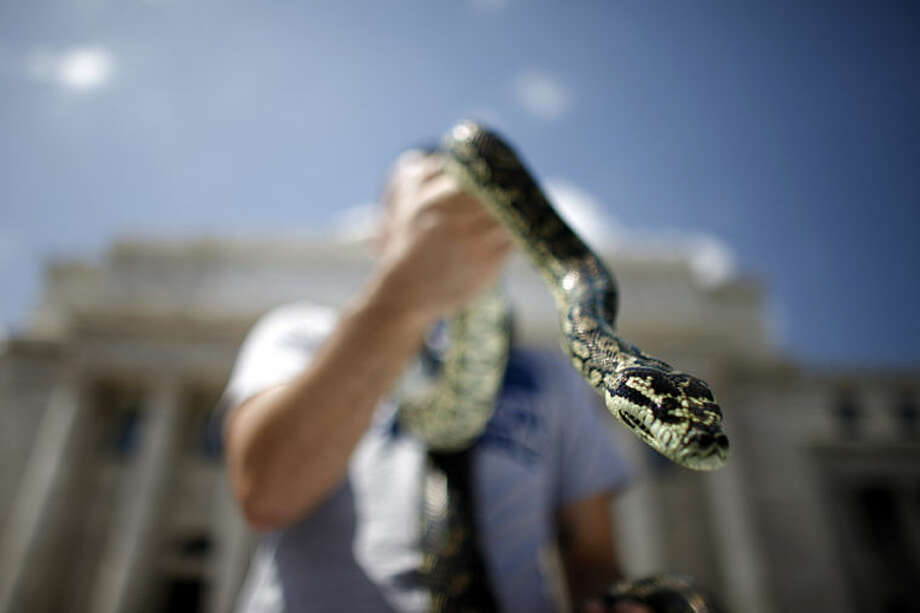 """Rafael Lopez holds up his carpet python during a demonstration by the owners of exotic pets outside the Capitol in San Juan, Puerto Rico, Wednesday, May 21, 2014. Exotic pet owners oppose proposed amendments to the """"New Wildlife Act of Puerto Rico"""" law because it creates a list of """"harmful and poisonous species"""" which would make it unlawful to continue to have their exotic pets at home. (AP Photo/Ricardo Arduengo)"""