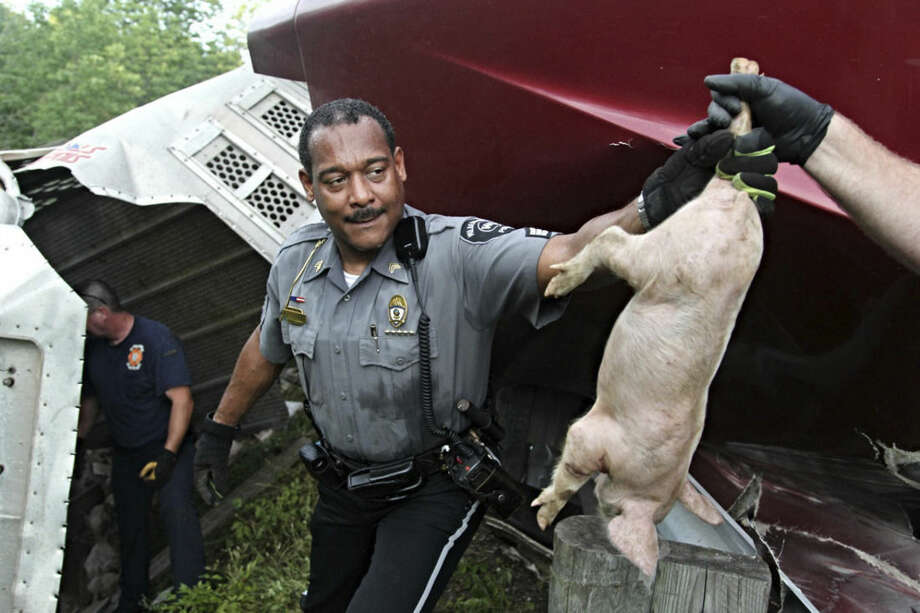 An officer passes off a pig after a semitrailer overturned on a highway carrying about 2,200 pigs in Xenia Township, near Dayton, Ohio, Monday, June 8, 2015. Numerous agencies worked to corral the animals after the crash on U.S. Route 35. (Jim Noelker/The Dayton Daily News via AP)