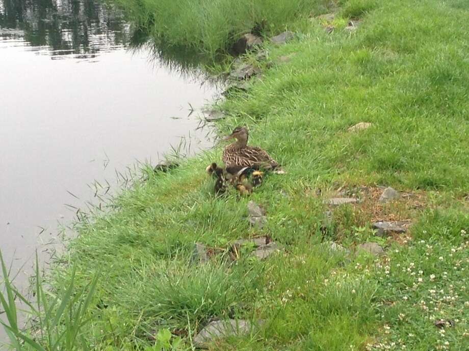 Westport Fire personnel saved five Mallard chicks from a storm drain on Tuesday morning.