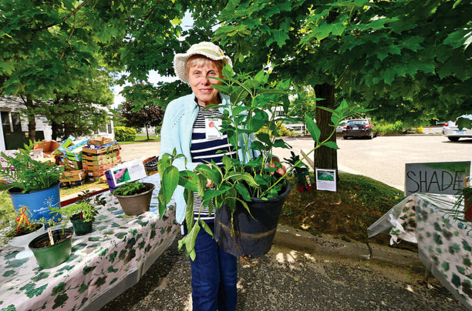 Hour photo / Erik Trautmann Member Sally Damato brings out a Turtlehead plant Norwalk Garden Club Plant Sale at the parking lot at 1 Park Saturday.