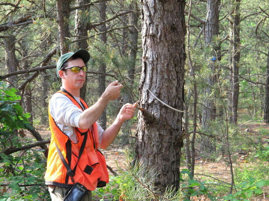 In this photo taken Friday, June 12, 2015, in Rocky Point, N.Y., Ian Dunn, a forester with the New York Department of Environmental Conservation, measures a pine tree in the Rocky Point Natural Resources Management Area. Officials are seeking to determine the extent of an infestation of the southern pine beetle in states throughout the northeast. (AP Photo/Frank Eltman)