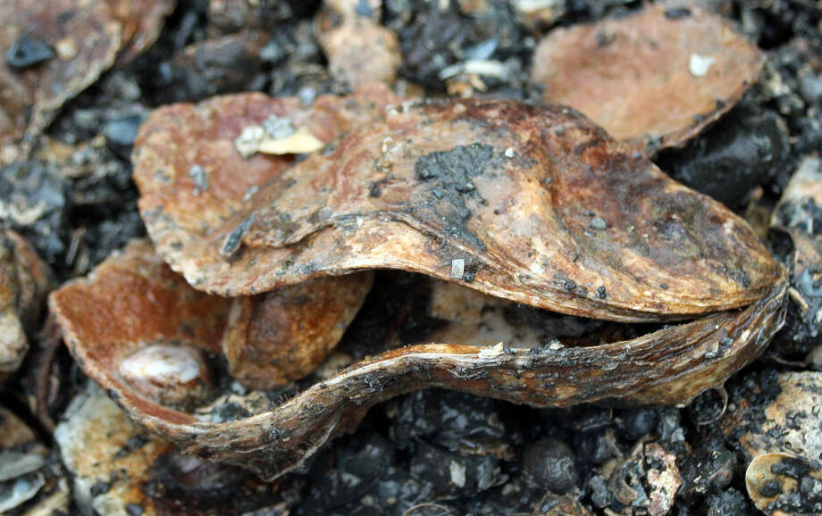 Hour photo/Chris Bosak An oyster shell was among the haul brought on board to examine life from Long Island Sound during a cruise aboard the Aquarium's new research vessel RV Spirit of the Sound on Saturday afternoon.