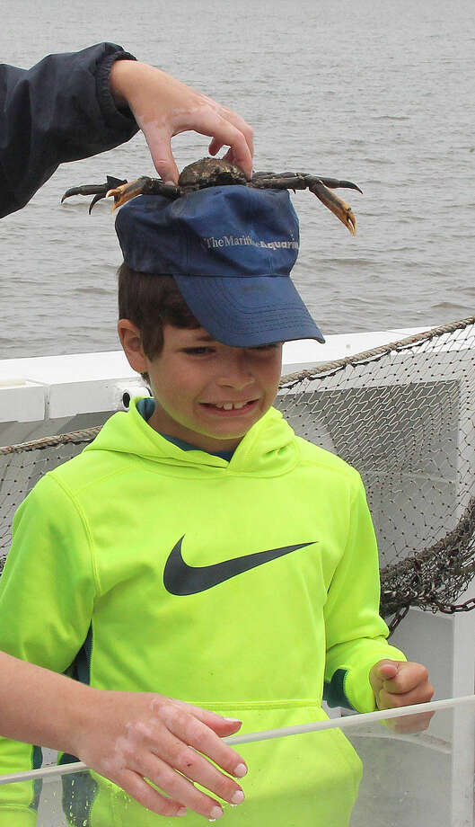 Hour photo/Chris Bosak A spider crab grabs a hat off Sam Parsepe aboard the Aquarium's new research vessel RV Spirit of the Sound on Saturday afternoon.