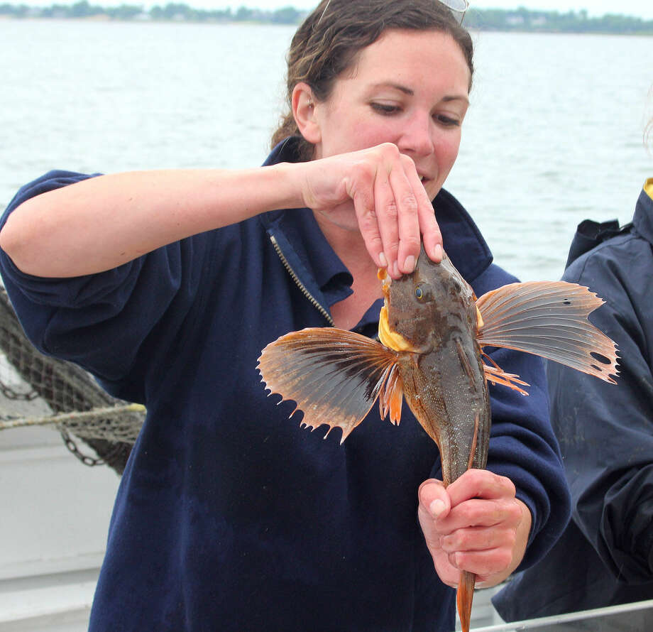 Hour photo/Chris Bosak Maritime Aquarium at Norwalk educator Nicole Rosenfeld holds a sea robin as part of the haul from a net brought in from Long Island Sound during a cruise aboard the Aquarium's new research vessel RV Spirit of the Sound on Saturday afternoon.