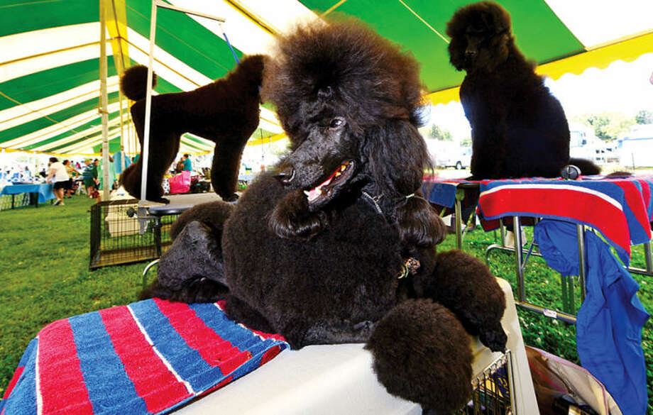 Hour photo / Erik Trautmann Sapphire, a standard poodle, waits to compete in The Greenwich Kennel Club All-Breed Dog Show, Obedience & Rally Trial at Taylor Farm Saturday,