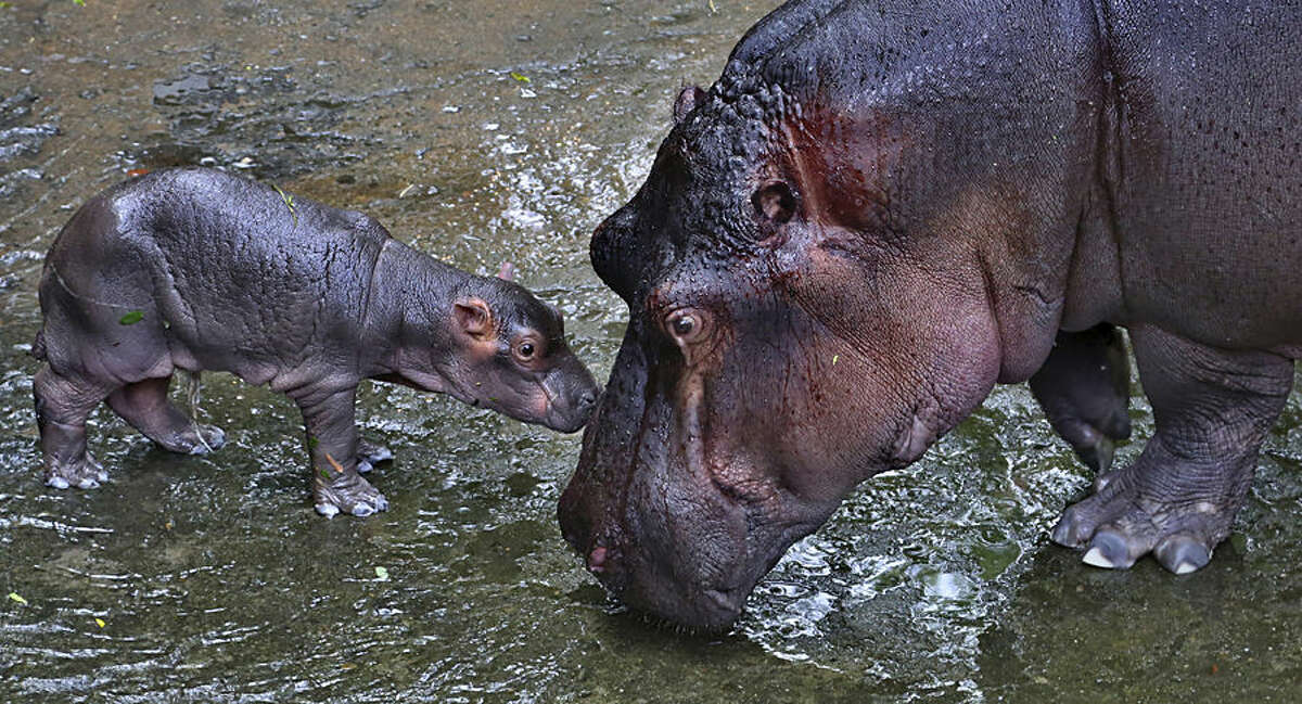 Kaveri, eight-year-old hippopotamus, right, plays with her yet to be named three-day-old baby hippo inside their enclosure at the Bannerghatta National Park, 25 kilometers (16 miles) south of Bangalore, India, Wednesday, July 1, 2015. (AP Photo/Aijaz Rahi)